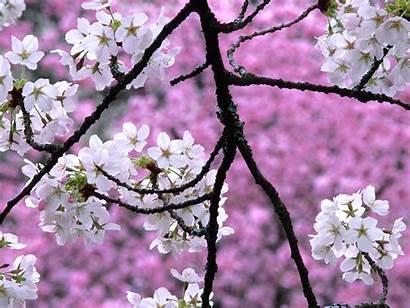 Blossom Cherry Desktop Blossoms Tree Sakura Flower