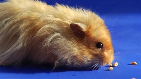 teddy bear hamster coat size grooming  health issues