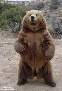 Bear Standing Up