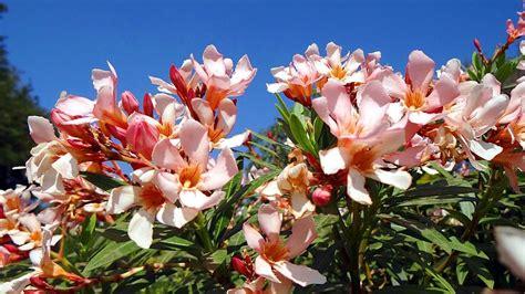 oleander zurückschneiden im herbst oleander was beim standort dem gie 223 en schneiden und d 252 ngen zu beachten ist