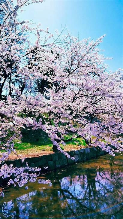 Iphone Blossom Cherry Background Widescreen Blossoms Pixelstalk