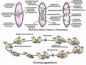 Differences Between Binary Fission And Conjugation
