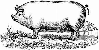 Pig Sausage Profile Pigs Making He Sausages