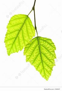 Picture Of Branch With Green Leaves