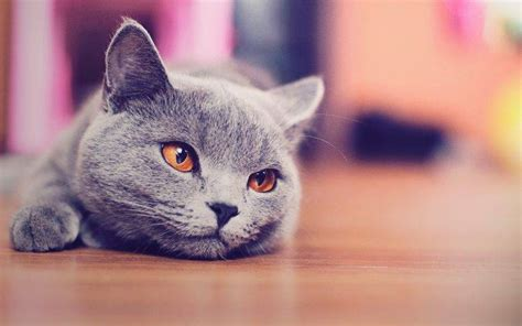 cat russian blue animals blurred wallpapers hd