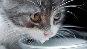Latte vaccino ai gatti? No, grazie!