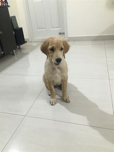 Ginger Golden Retriever Dogs In Bangalore Karnataka