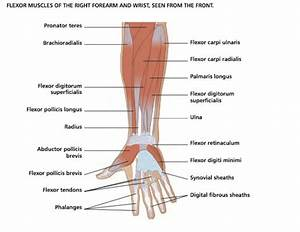 Pictures: Muscles Of The Forearm Diagram, - Anatomy ...