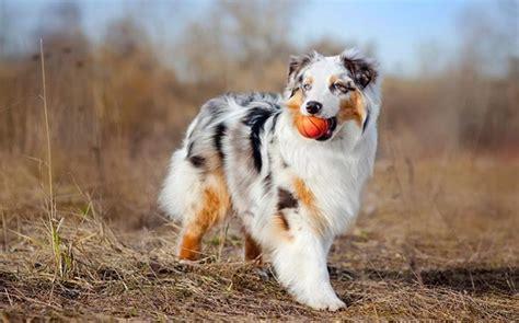 methods  train australian shepherd dog strategies