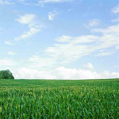 Agriculture Corn Field Natural Giphy Gifs Fields