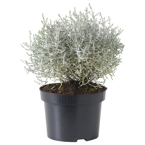 ikea vasi piante ikea calocephalus brownii pianta da vaso fiori