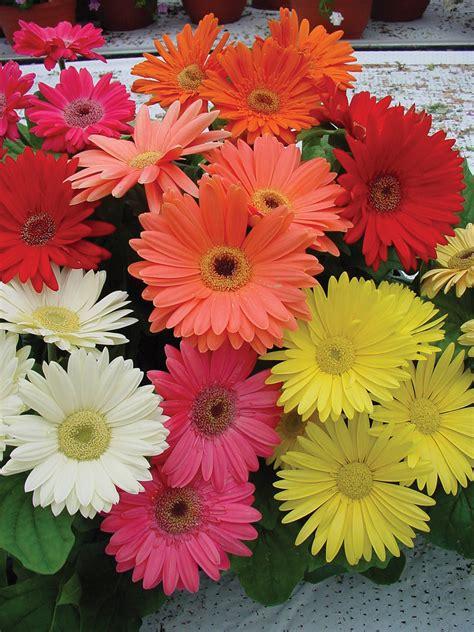 gerbera daisies revolution gerbera daisies mississippi gardener hot plants