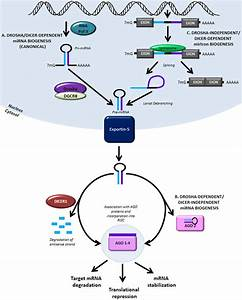 Mirna Biogenesis And Function   A  The Canonical Mirna