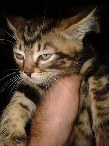 Marbled tabby kitten for sale | Walsall, West Midlands ...