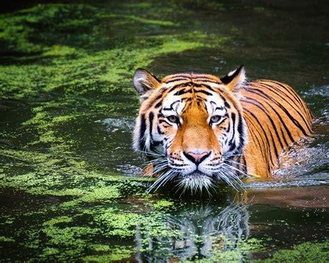 Wallpaper Tiger, Big Cat, Swim, Hd, Animals, #8697
