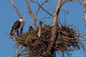 Bald Eagle Adult and Chick on Nest, Puyallup, Washington ...
