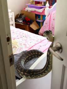 python bedding snakes in the roof homeowner terrified after snake