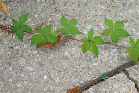 poison leaf poison oak 5 leaf poison oak pictures five leaves jan s ranch and lake house pinterest