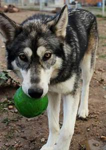 The 25+ best Wolf hybrid dogs ideas on Pinterest | Wolfdog ...