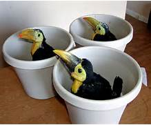 Birds for Sale or TradeBaby Toco Toucans
