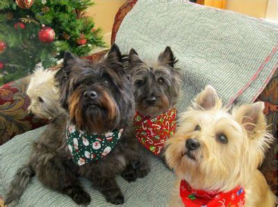 cairn terriers images  pinterest cairn