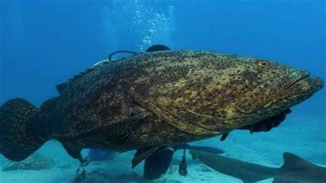 goliath groupers grouper florida hunt soon could hollenbeck sarah