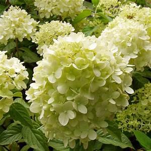 Große Winterharte Kübelpflanzen : die rispen hortensie limelight zeichnet sich durch gro e ~ Michelbontemps.com Haus und Dekorationen