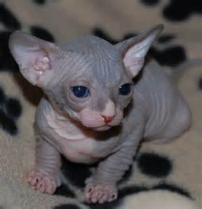 baby hairless cats 50 cutest hairless sphynx cat photos golfian