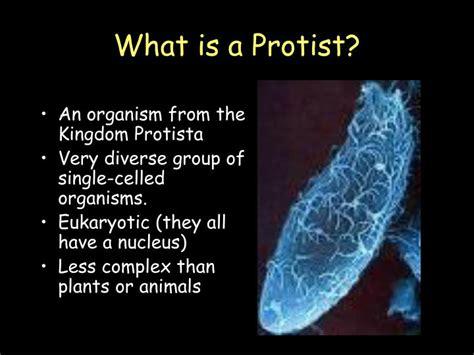 protists euglena amoeba paramecium volvox