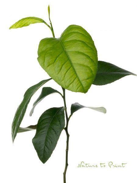 baum stecklinge ziehen einen zitronenbaum selber ziehen zeitvertreib f 252 r kleine und gro 223 e hobbyg 228 rtner blumen