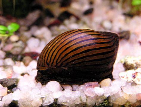 les diff 233 rents escargots d aquarium d eau douce les plus connus