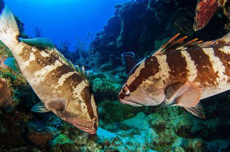 grouper nassau endangered critically belize