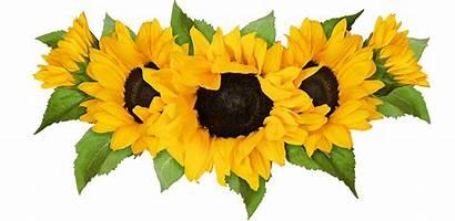 Sunflower Sunflowers Row Pick Own Flowers Farms