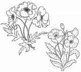 Poppy Coloring Botanical Printable Flowers Easter California Coloringpagesfortoddlers Disimpan Dari sketch template