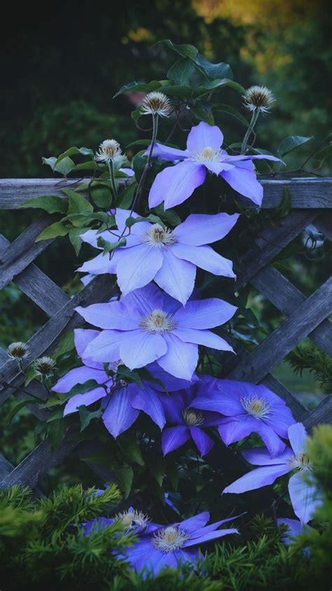 Blue Clematis, Beautiful Climbing Vine  Flowers Pinterest