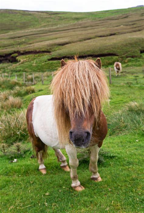shetland ponies island horses hair pony islands scotland shetlands