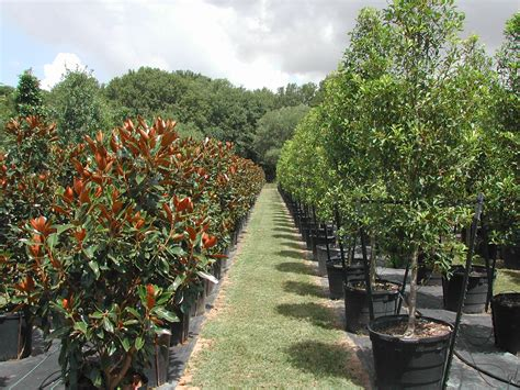 tree nurseries bill bownds nursery trees and tree installation home houston live oaks holly trees and