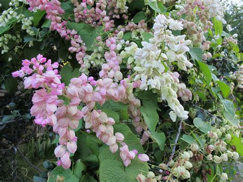 White Coral Vine Pictures To Pin On Pinterest Pinsdaddy