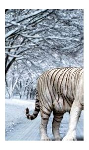 White Tiger HD Widescreen Wallpapers Amazing Wallpaperz ...
