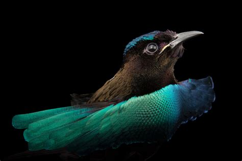 Feather Thief Broke Into Museum To Steal Rare Birds