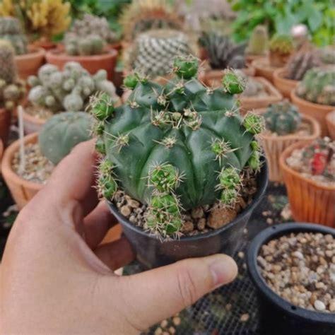 Cactus At Home : ยิมโนแม่ลูกดก ขนาด 5-7 cm. | Shopee Thailand