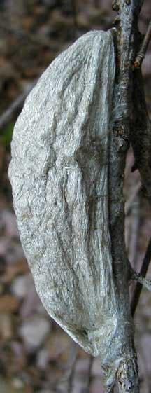 cecropia moth cocoon whats  bug