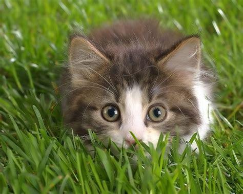 Kitten Backgrounds by Wallpaper Cats Wallpapers For Desktop