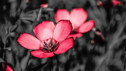 Pink Flower Petals Contrast Background Flowers 1080p