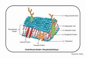 This Is Fluid Mosaic Model Of Cell Membrane