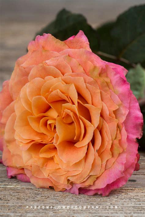 rose spirit garden scented premium
