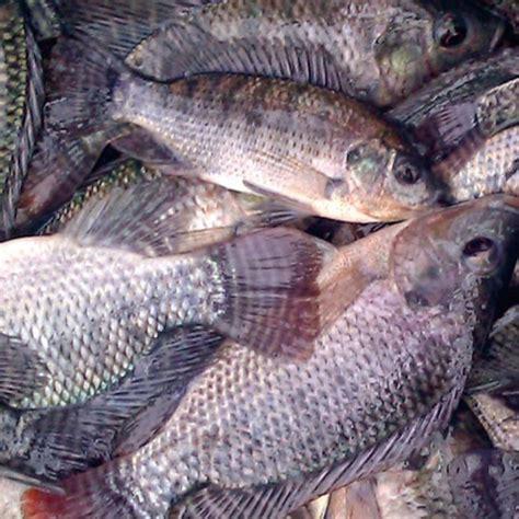 jual beli ikan nila harga murah  terlengkap agromaret