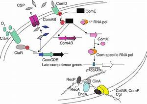 In Streptococcus Pneumoniae  The Induction Of Genetic Competence  And