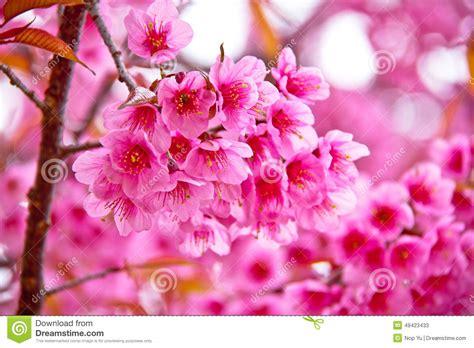 im winter blühende blumen kirschbl 252 te blumen die im winter bl 252 hen stockfoto bild 49423433