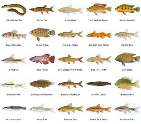 freshwater fish species  aquariums freshwater fish